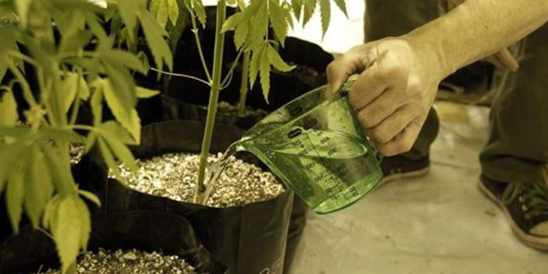 выращивание мариханы, выращивание конопля, проблемы при выращивании конопли,