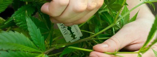 выращивание конопли,