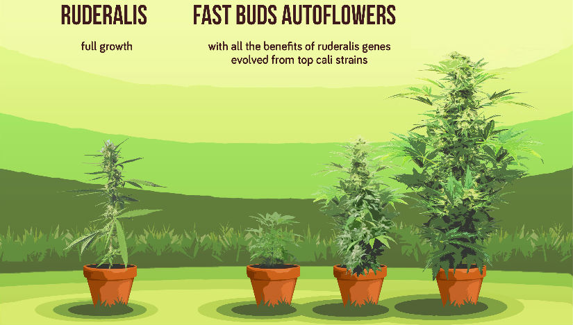 Автоцветущие сорта марихуаны что это время выращивания марихуаны