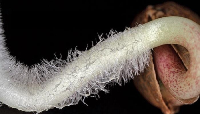Проращивание семян каннабиса