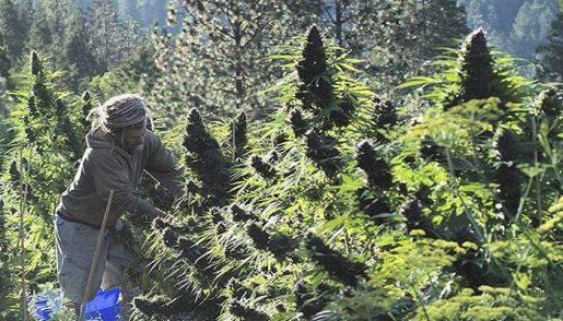 выращивание марихуаны,