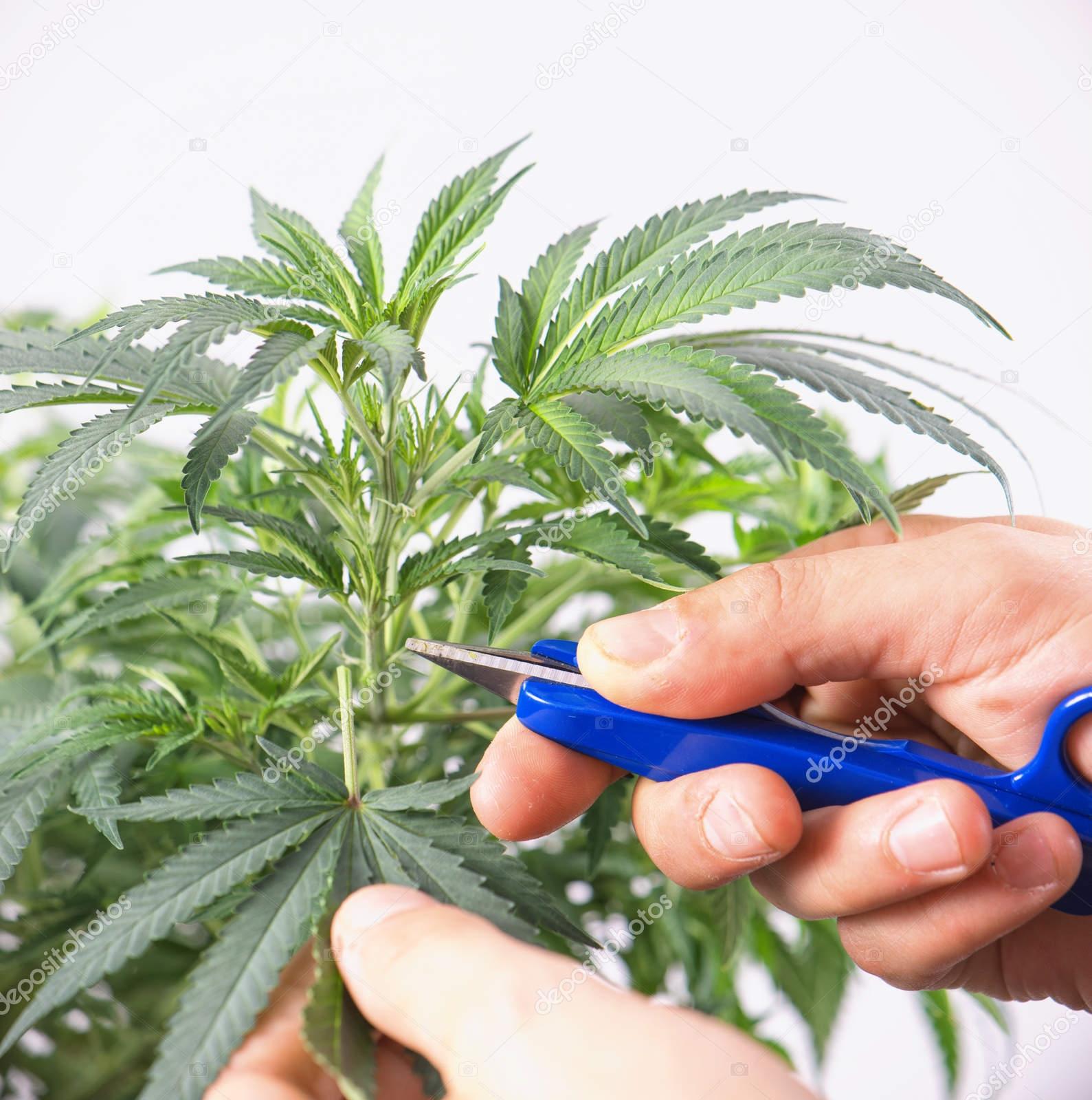 Как обрывать коноплю марихуана косяк картинка