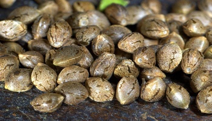 Основные правила по хранению семян конопли