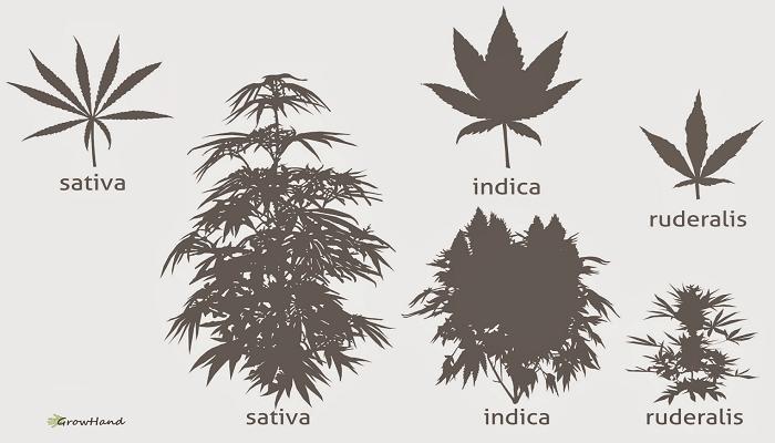 Подвид конопли Рудералис (Cannabis Ruderalis)