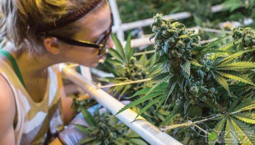 индор, выращивание марихуаны,