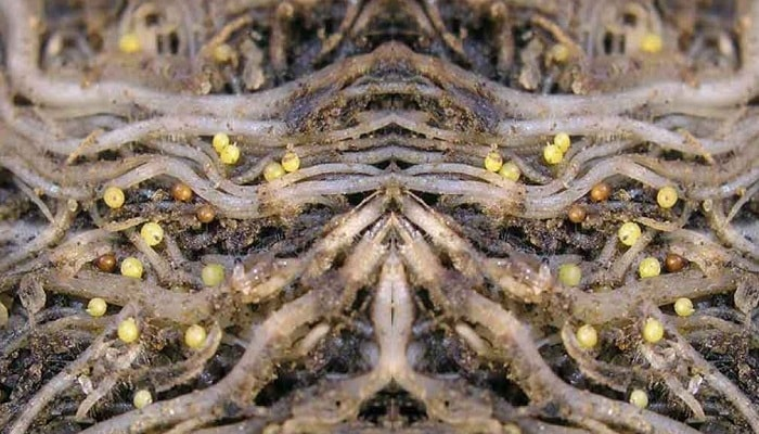 Нематоды — вредители гидропоники