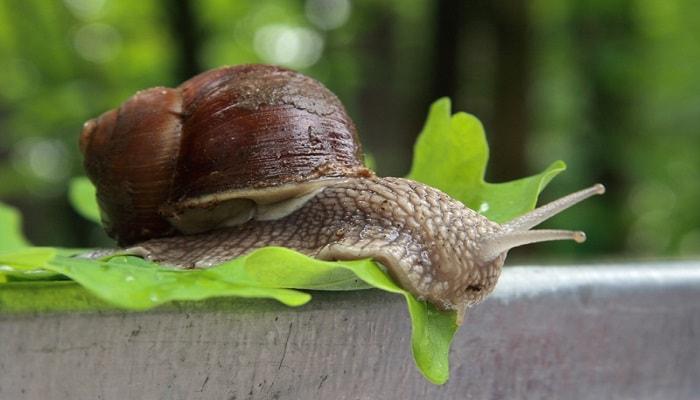 Вредители конопли: как бороться со слизнями и улитками?
