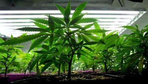выращивание конопли дома