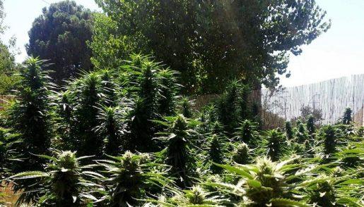 выращивание конопли в аутдоре