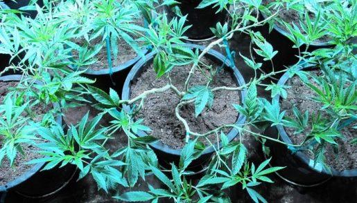 урожайность марихуаны,