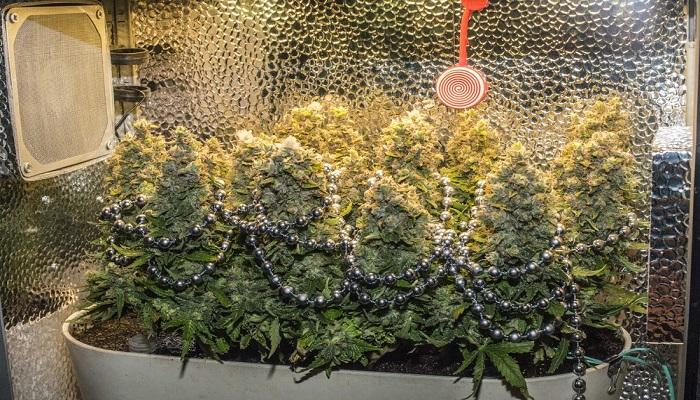 Суперкроппинг при выращивании марихуаны