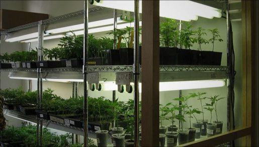 генетика марихуаны,