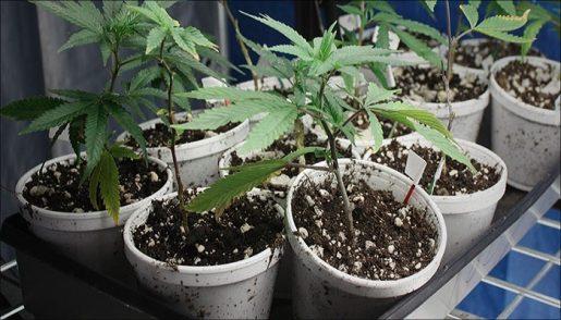 клонирование марихуаны,