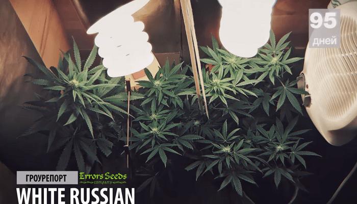 Первый Гроурепорт от новичка, культивирование White Russian