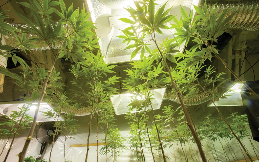 CannaObscuraindoor_grow-veg-tall-0791