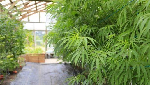 теплица, марихуана, выращивание,