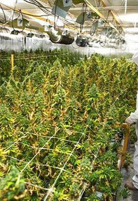 Теплицы для выращивания конопли