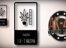 происхождение сорта марихуаны АК-47