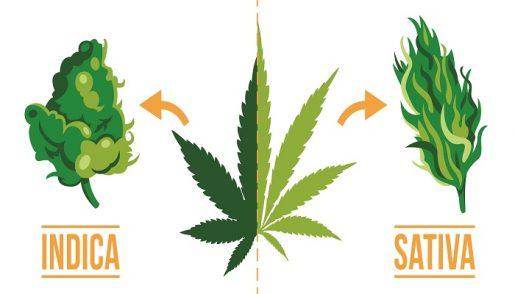 сорта марихуаны,