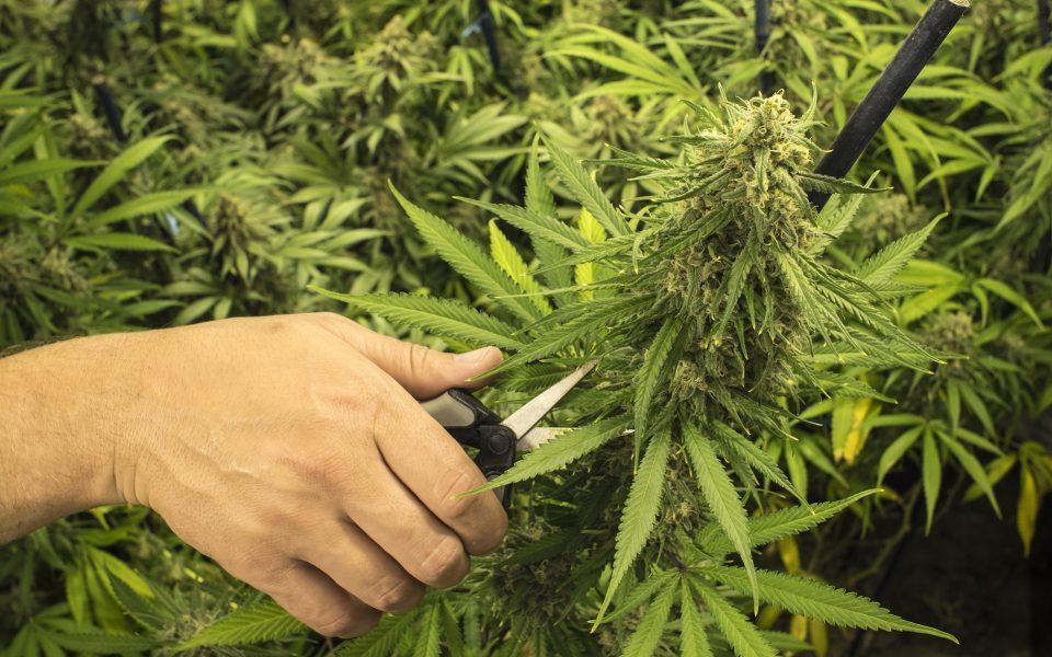 Когда и как правильно собрать коноплю дефицит калия у марихуаны