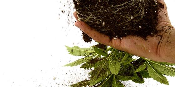 Как выращивать марихуану в почве