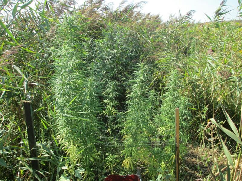 выращивание конопли, выращивание марихуаны, конопля, марихуана, проращивание семян, семена конопли, семена канабиса, семена марихуаны,