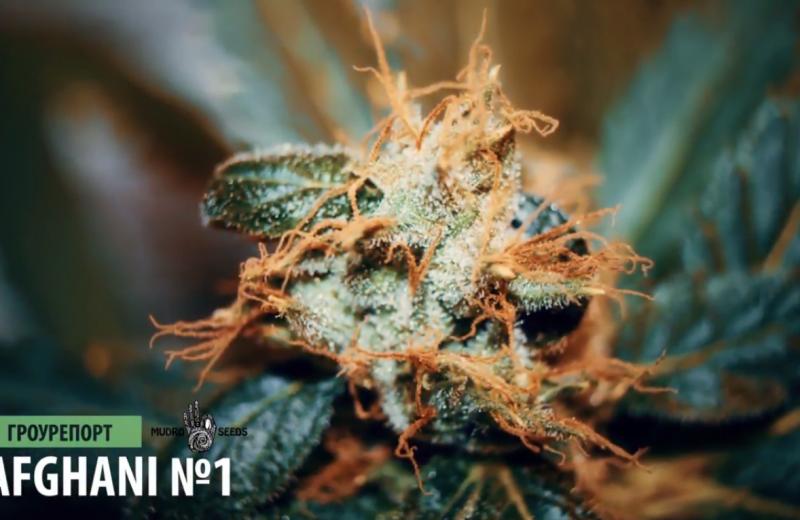 Гроурепорт выращивания марихуаны AFGANI №1