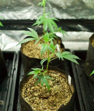 выращивание в индоре