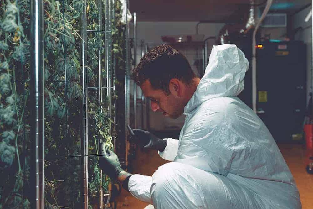 выращивание конапли