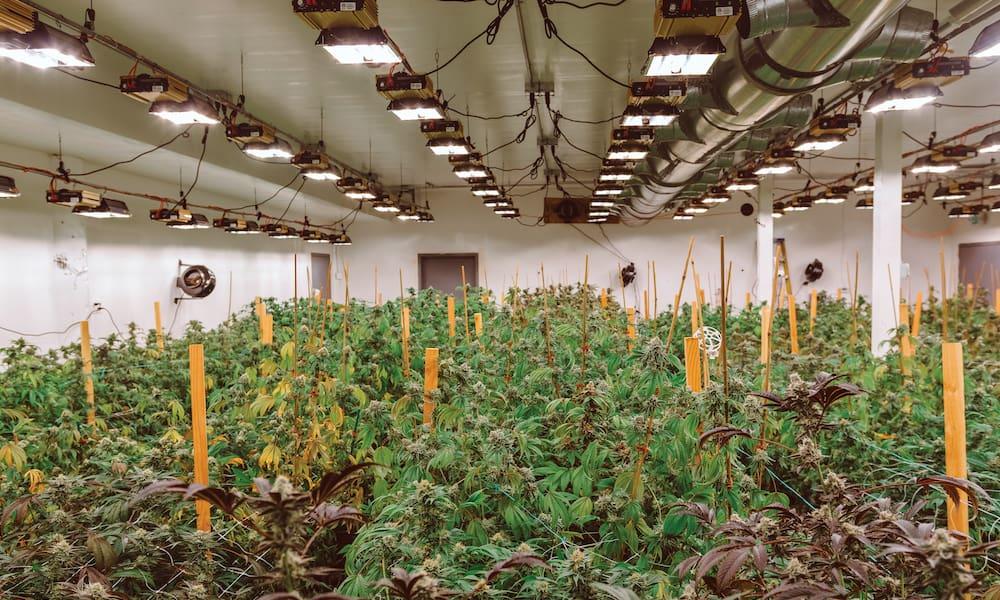 выращивание марихуанны