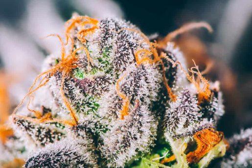 выращивание марихуаны