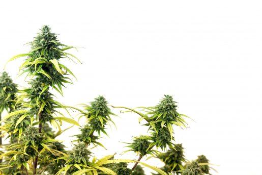 hybrid strain, mj, weed, cannabis,