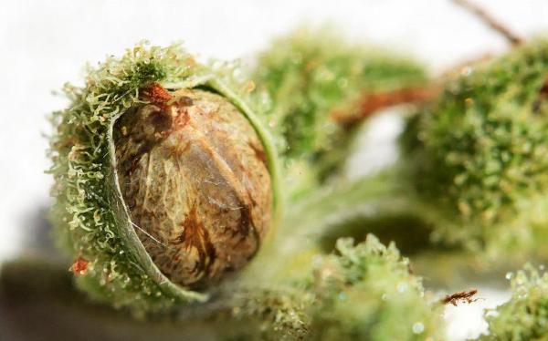 Выращивание конопли. ч.5 – Семена