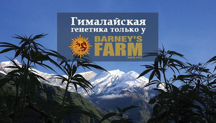 Гималайская генетика только у Barney's Farm!