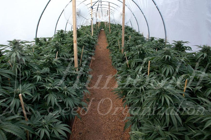 humboldt seed organization, humboldt seeds,, errors seeds, cbd, кбд, тгк, thc, сорта конопли, сортовая марихуана, конопля, каннабис, купить семена конопли, weed, strains, marijuana, 420 time, seed bank,