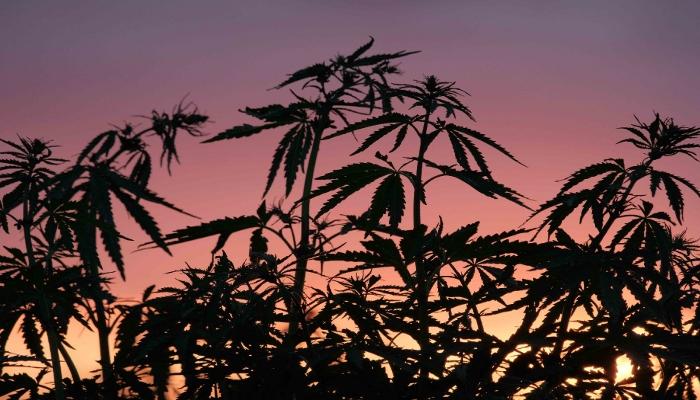 автоцветы, автоцветущие сорта марихуаны, автики, фотики, сортовая конопля, каннабис, mj, 420, marijuana, cannabis, seeds, выращивание марихуаны, выращивание конопли на улице, outdoor, аутдорное выращивание,