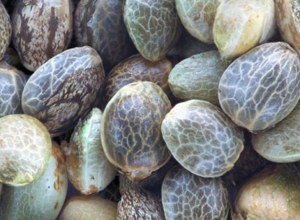 Как проверить качество семян конопли