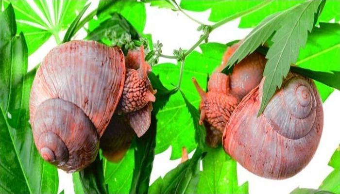 Как защитить растения конопли от слизняков и улиток?