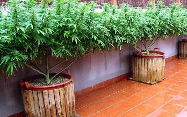 Легкость выращивания марихуаны в открытом грунте