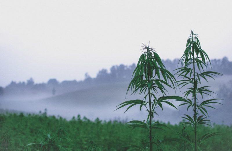 Как выбрать место для выращивания марихуаны в аутдоре