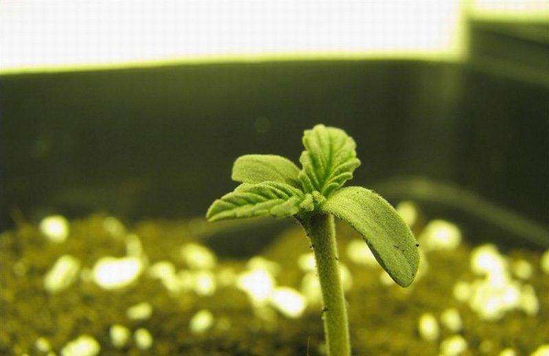 Почему погибли едва проросшие семена конопли?