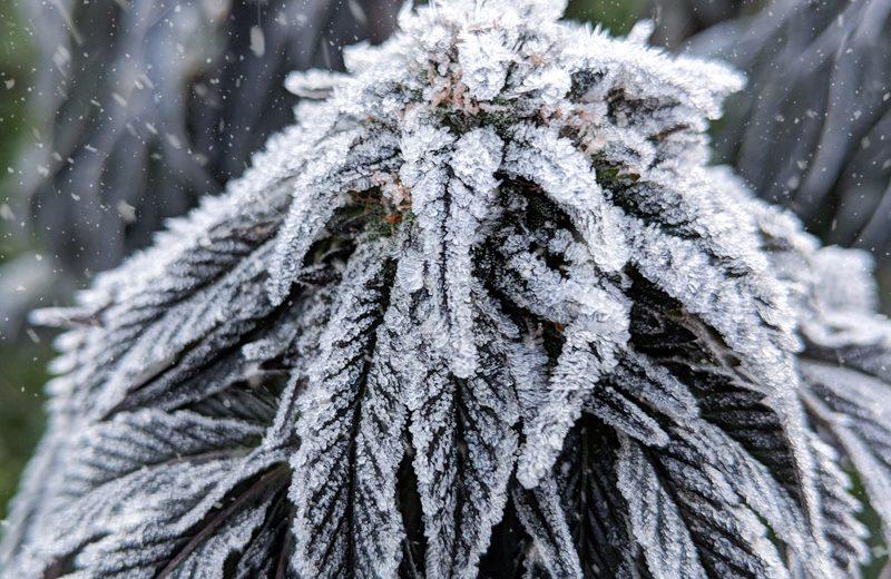 Как вырастить коноплю в прохладном климате